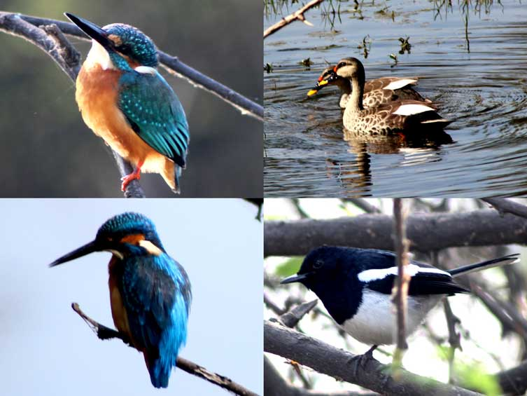 Common Kingfisher, Spot-billed Duck- Eurasian Magpie, and Great-blue Kingfisher (Clockwise)