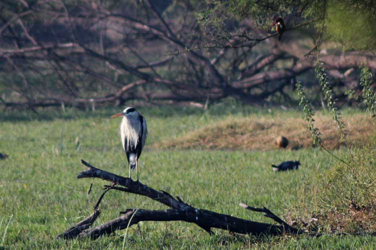 Grey Heron (with White-throated kingfisher, Purple swamphen and Whistling Duck)