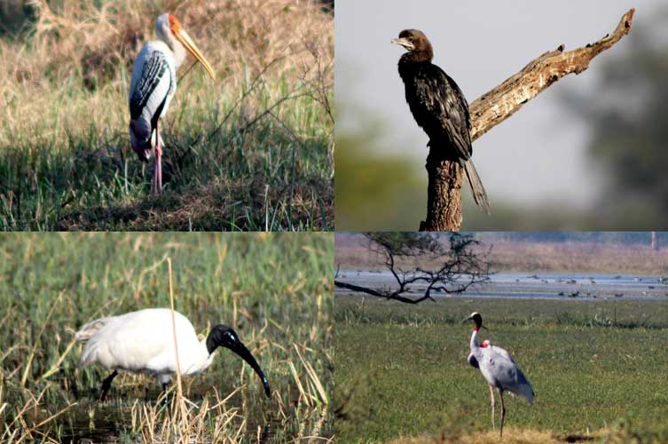 Painted Stork, Indian Cormorant, Sarus Crane, and Black-headed Ibis (Clockwise from top left)