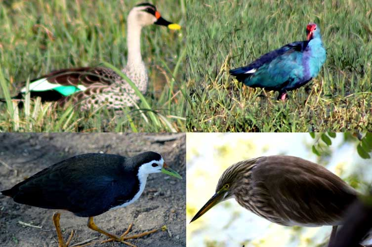 Spot billed Duck, Purple Swamphen, Indian Pond Heron and White-breasted Waterhen (Clockwise from top left)