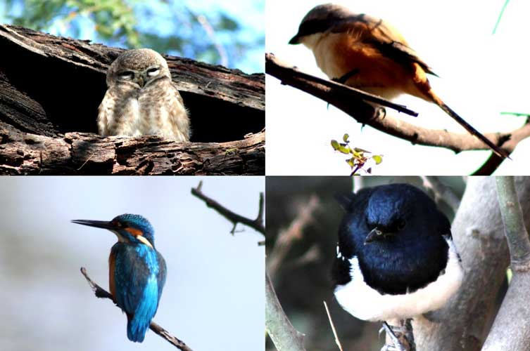 Spotted Owlet, Long-tailed Shrike, Eurasian magpie, and Great blue Kingfisher (Clockwise from top left)