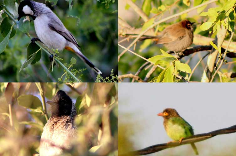 White-eared Bulbul, Indian Robin (female), Brown-headed Barbet, and Red vented Bulbul (Clockwise from top left)